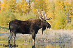Rutting bull moose wading in beaver pond. Grand Teton National Park, Wyoming.