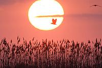 Night Heron (Nycticorax nycticorax) in the Danube Delta, Romania. May 2009 <br /> Mission: Danube Delta