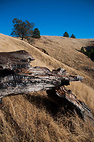 Fallen Bough, Plaskett Ridge, Los Padres National Forest, Big Sur, California, US