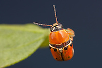 A Case-bearing Leaf Beetle (Griburius larvatus) perches on a leaf in Highlands Hammock State Park, Sebring, Florida.