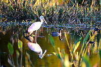 Roseate Spoonbill photographed late afternoon at Wakodahatchee Wetlands, Delray Beach, Florida.