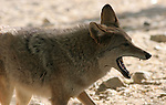 coyote with mouth open
