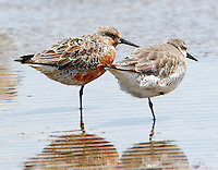 Pair of red knots in breeding plumage at rest on beach at Bolivar Point, TX