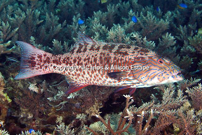 Epinephelus maculatus, Highfin grouper, Raja Ampat, Indonesia