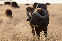 Cape Buffalo (Syncerus caffer), Mokala National Park, South Africa.
