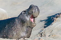 Northern Elephant Seal - Mirounga angustirostris