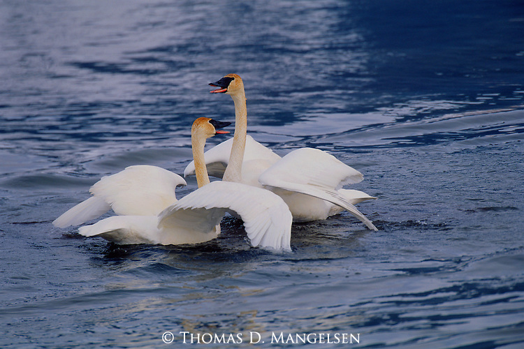 Two trumpeter swans in Grand Teton National Park.