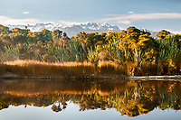 Views of Southern Alps across coastal native forest and lagoon near Okarito, Westland Tai Poutini National Park, West Coast, UNESCO World Heritage Area, New Zealand, NZ