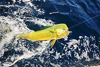 mahi mahi in the water at boat, sportfishing, Mahi mahi, Coryphaena hippurus, dolphinfish, dorado,