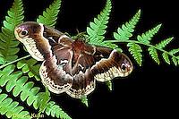 LE41-005a  Moth - Promethea Moth - Callosamia promethea