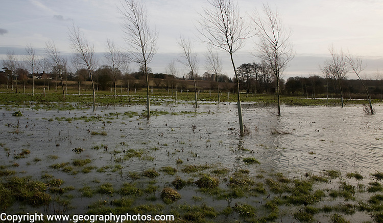 Flooded flood plain with cricket bat willow trees, River Deben at Loudham, Suffolk, England