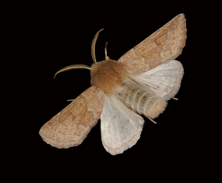 Blossom Underwing - Orthosia miniosa