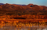 512666422 a large flock of sandhill cranes grus canadensis forage in a large pond at sunrise in bosque del apache national wildlife refuge new mexico