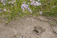 Kreuzkröte, Kreuz-Kröte, Kröte, in den Dünen der Nordseeküste, Bufo calamita, Epidalea calamita, natterjack toad, Natterjack, Crapaud calamite