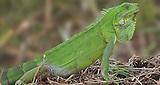 Iguana en la entrada al campamento Arrayanes.Interventoria Campo Rubiales.Puerto Gaitan, Meta, Colombia.26/05/2012.11:09:57 a.m..N3°47.080'.W71°25.880'..copyright Archivolatino Corp