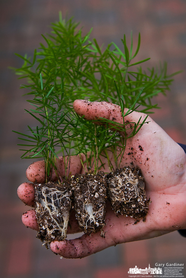 A nursery worker holds three small fern plants with exposed roots being repotted for sale in the greenhouse. Photo Copyright Gary Gardiner. Not for reproduction without written permission.