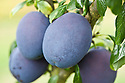 Plum 'Valor', mid August. A dual-purpose plum originally from Vineland, Canada,1968. Large, dark purple fruit with greenish-yellow flesh ripen late in the season.