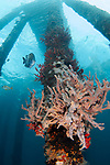 Pink finger sponge and red corals grow on dock pilings with a Sargeant Major, diagonal image