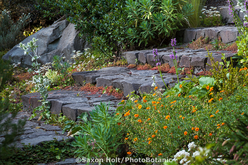 Helianthemum nummularium 'Orange Surprise' flowering,  Euphorbia characias ssp. wulfenii to the lower left, Stachys officinalis 'Nana' with purple-pink flowers by steps in Elisabeth Miller Botanical Garden