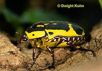 1C37-519z  Pachnoda Flower Beetle, Pachnoda flaviventris, Africa