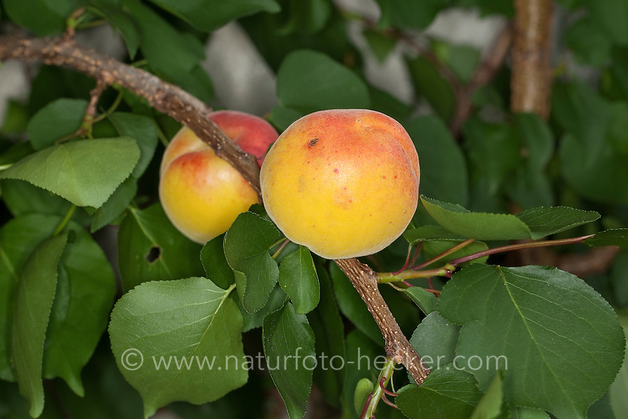 Aprikose, Aprikosen, Marille, Marillen, Obst, Obstbaum, Prunus armeniaca, Apricot