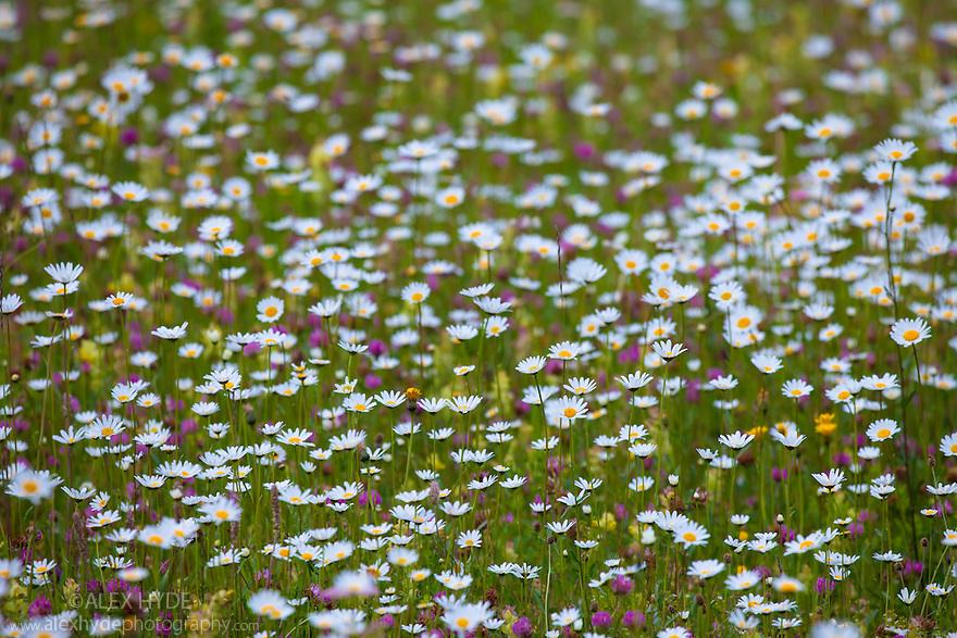 Oxeye Daisy {Leucanthemum vulgare} growing in alpine meadow. Nordtirol, Tirol, Austrian Alps, Austria, 1700 metres altitude, July.