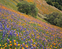 Sierra National Forest, CA<br /> A hillside of flowering California poppies and lupine blooming on a sloping hillside with oak trees on the Moss Creek Trail near El Portal