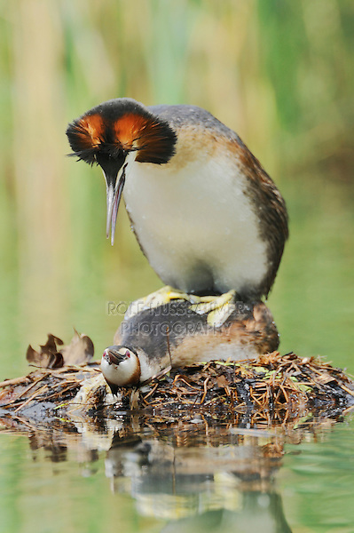 Great-crested Grebe (Podiceps cristatus), pair mating, Switzerland, Europe