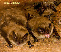 MA20-543z  Little Brown Bats, Myotis lucifugus