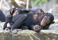 Germany, DEU, Muenster, 2006-Sep-06: Two chimpanzees (pan troglodytes), mother and child, cuddling in the Muenster zoo.