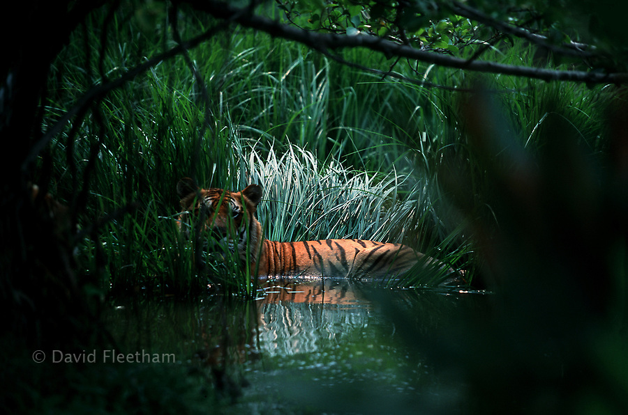 Bengal tiger, Panthera tigris corbetti, cools off on a hot afternoon in Thailand.