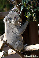 0802-1005  Koala, Phascolarctos cinereus © David Kuhn/Dwight Kuhn Photography
