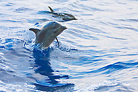 Pantropical Spotted Dolphin calf, Stenella attenuata, with remora, Remora australis, jumping out of boat wake, off Kona Coast, Big Island, Hawaii, Pacific Ocean