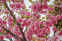 Clusters of pink flowers fill the branches of a  neighborhood park tree.