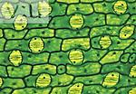 Spiderwort (Tradescantia) leaf epidermis with numerous stomates. LM X43.