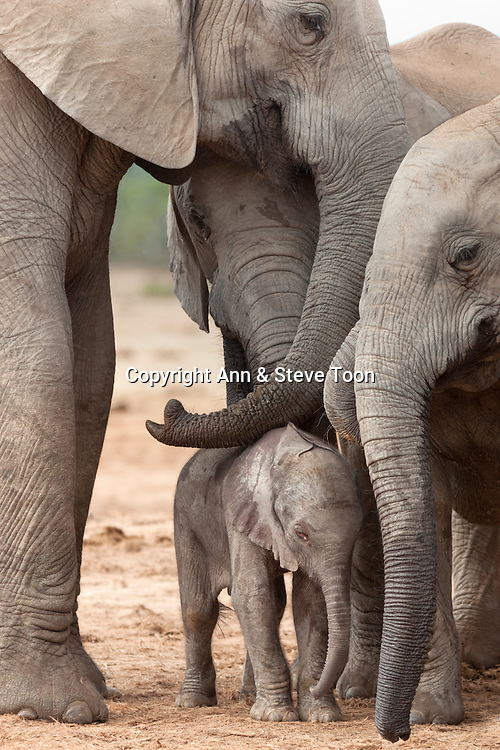 Elephant (Loxodonta africana) new-born calf, Addo Elephant National Park, South Africa, February 2014