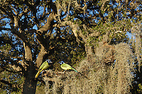 Green Jay (Cyanocorax yncas), group in Spanish moss (Tillandsia usneoides) covered Live Oak tree (Quercus virginiana), Dinero, Lake Corpus Christi, South Texas, USA