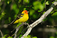 Adult male Western Tanager (Piranga ludoviciana) in breeding plumage. Yakima County, Washington. May.