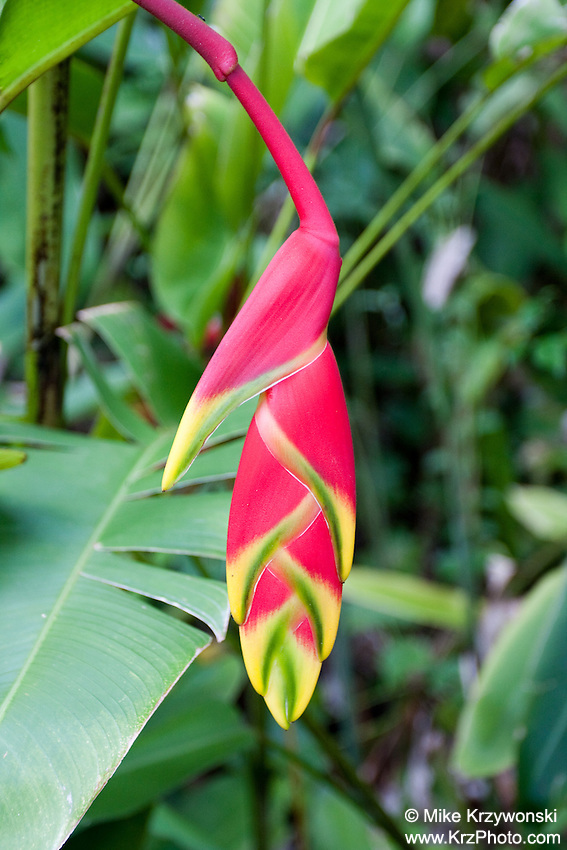Heliconia rostrata is commonly known as False Bird of Paradise, Hanging Heliconia, or Lobster Claw