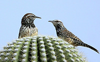 Courtesy photo/PHYLLIS KANE<br /> DESERT WRENS<br /> Castus wrens rest on a Saguro cactus in southern Arizona. Phyllis Kane of Fayetteville took the picture last month during a trip to the Tuscon area.