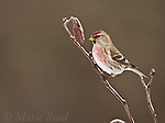 Common Redpoll (Carduelis flammea), male perched in alder in winter, New York, USA