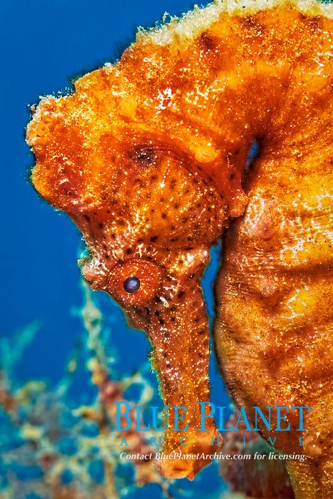 slender seahorse or longsnout seahorse, Hippocampus reidi, Bridgetown, Barbados, Lesser Antilles, Caribbean Sea, Atlantic Ocean