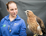 Show staff Bree Winchell dislays Sundance the red tailed hawk after a Wild Life Live performance at The Oregon Zoo. © Oregon Zoo / Photo by Carli Davidson