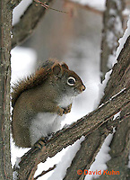 "1228-07tt  Red Squirrel ""Hunting for Food in Winter"" - Tamiasciurus hudsonicus - © David Kuhn/Dwight Kuhn Photography."