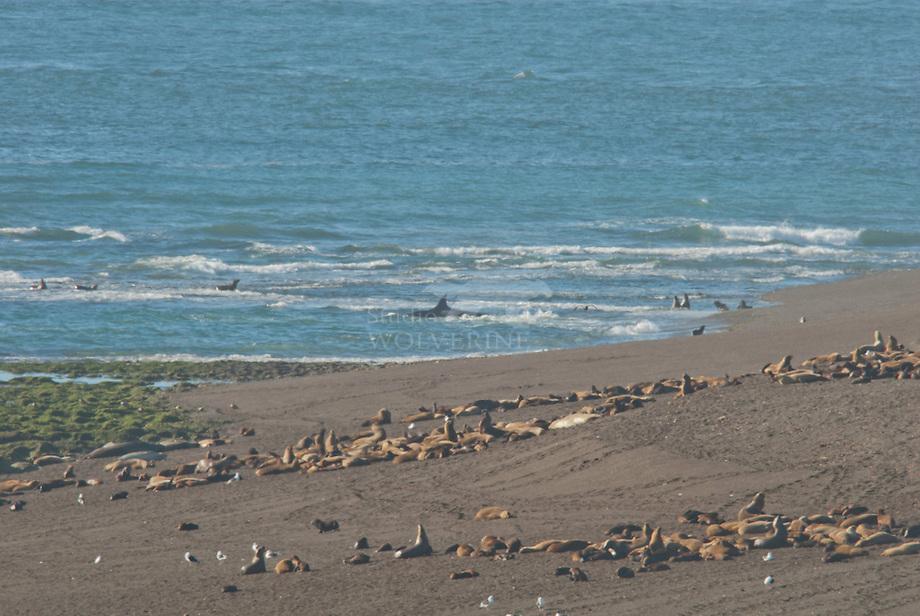 Orca (Orcinus orca), patroullerend voor zeeleeuw jongen als prooi