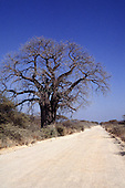 Near Tabora, Tanzania. White dirt road and single leafless baobab tree.