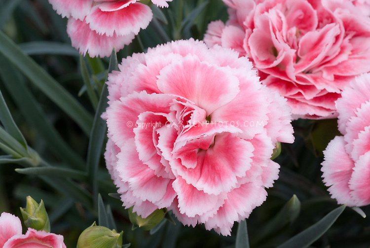Dianthus lsquocoral reefrsquo plant flower stock photography dianthus coral reef scent first pot series pink with pale picotee edge mightylinksfo