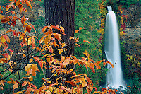 Mountain dogwood<br />   and Mill Creek Falls<br /> Rogue River Valley<br /> Cascade Range,  Oregon