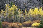 Fall color just steps from Downtown Truckee.