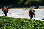 Pictured: Farm workers dressed in PPE wade through water as they remove the fleece crop covers protecting the watercress as they harvest hundreds of thousands of kilograms of watercress during the beginning of the watercress farming season at Manor Farm in Alresford, Hants.<br /> <br /> The skilled farmers harvested over 3 and 1/2 tonnes, or 3,500 kilograms of watercress from the beds at the farm. With the average weight of a paper-bound punnet coming in at 85 grams, the workers were able to harvest over 41,000 punnets in a single picking, and are able to pick up to 70,000 punnets or 6,000 kilograms at bigger farms across Hampshire and Dorset. <br /> <br /> Manor Farm is based in Alresford, Hants which is recognised as the UK's watercress capital. The town also plays host to an annual festival, the Alresford Watercress Festival which draws thousands of visitors  as well as naming the heritage steam line after the vegetable; the Watercress Line.<br /> <br /> The watercress is grown in spring water, of which Hampshire is an excellent location due to its naturally forming chalk streams. Hundreds of thousands of litres flows through the watercress beds, which is formed when rain water percolates chalk directly into the ground and runs into springs. The chalk regulates the flow of the water by acting as a reservoir, and by doing so creates a stable flow regime for which ensures the growth of the watercress.<br /> <br /> The coronavirus pandemic has caused major disruption to the UK economy, with the closure of business' up and down the country as well and the enforcement of travel restrictions. The Watercress Company saw business drastically fall due to a lack of demand for their produce, and once sales picked up had to draft in extra workers in some farms to cope with the demand of seasonal picking. <br /> <br /> The Watercress Company has farms across Dorset and Hampshire, as well as internationally in Spain and the United States, ensuring the UK's demand for watercres